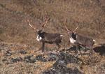 Caribou Bulls