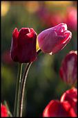 Tulips, Woodburn, OR