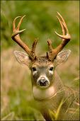 Columbian White-tailed Deer (Buck), Julia Butler Hansen National Wildlife Refuge, WA
