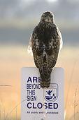 Red-tailed Hawk/Area Closed Sign, Ridgefield NWR, WA