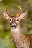 Columbian White-tailed Deer (Buck), Julia Butler Hansen NWR, WA