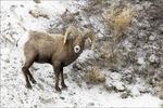 Bighorn Ram, Yellowstone National Park, WY