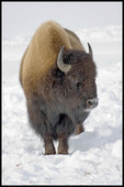 Bison Bull, Yellowstone National Park, WY