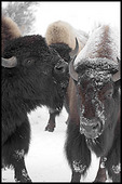 Bison Bull and Cow, Yellowstone National Park, WY