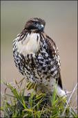 Red-tailed Hawk (Immature), Ridgefield NWR, WA
