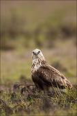 Rough-legged Hawk, Ridgefield National Wildlife Refuge, Washington