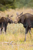 Moose Cow and Calf, Grand Teton National Park, WY
