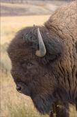 Bison Bull, Grand Teton National Park, WY