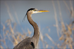 Great Blue Heron, Ridgefield NWR, WA
