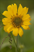 Arrowleaf Balsamroot, Tom McCall Natural Area, Columbia River Gorge National Scenic Area, OR