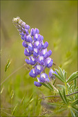 Bicolored Lupine, Tom McCall Natural Area, Columbia River Gorge National Scenic Area, OR
