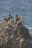 Brown Pelicans, Yaquina Head, Newport, OR