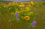 Wind-blown Wildflowers, Bicolored Lupine and Arrow-leaf Balsamroot, Tom McCall Natural Area, Columbia River Gorge, OR