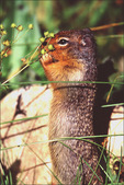Columbian Ground Squirrel, Payette National Forest, ID