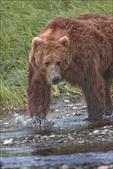 Alaska Brown Bear, McNeil River State Game Sanctuary, AK