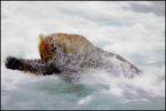 Plunging Brown Bear, McNeil River State Game Sanctuary, AK