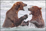 Wrestling Brown Bears, McNeil River State Game Sanctuary, AK