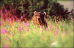 Fireweed and Alaska Brown Bear, McNeil River State Game Sanctuary, AK