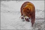 Alaska Brown Bear with Salmon, McNeil River State Game Sanctuary, AK