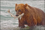 Alaska Brown Bear with Flopping Salmon, McNeil River State Game Sanctuary, AK