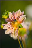Pink Dahlia with Bumblebee, Swan Island Dahlias, Canby, OR