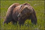 Large Alaska Brown Bear in Grass, McNeil River State Game Sanctuary, AK