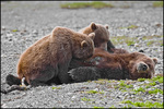 Nursing Brown Bear Mother and Yearling Cubs, McNeil River State Game Sanctuary, AK