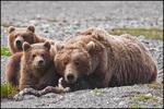 Three Sets of Eyes, Alaska Brown Bear Family, McNeil River, AK