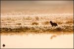 Coyote Hunting in Fog, Ridgefield NWR, WA