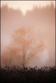 Single Tree in Fog, Ridgefield NWR, WA