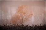 Single Autumn Tree in Fog, Ridgefield NWR, WA