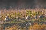 Sandhill Cranes, Ridgefield NWR, WA