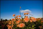 Orange Dahlias and Blue Sky, Swan Island Dahlias, Canby, OR