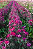 Rows of Purple Dahlias, Swan Island Dahlias, Canby, OR