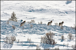 Three Coyotes, Yellowstone National Park, WY