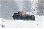 Bison Bull in Snow Storm, Yellowstone National Park, WY