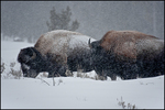 Two Bison in Snow Storm, Yellowstone National Park, WY