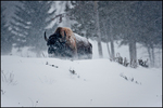 Bison Bull in Blizzard, Yellowstone National Park, WY
