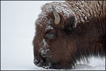 Bison Closeup, Yellowstone National Park, WY