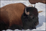 Bison Resting in Snow, Yellowstone National Park, Wyoming