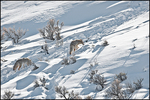 Coyotes in the Snow, Yellowstone National Park, WY