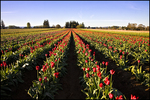 Tulip Field, Wooden Shoe Bulb Company, Woodburn, OR