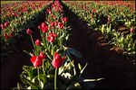 Rows of Tulips, Wooden Shoe Bulb Company, Woodburn, OR