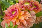 Two Orange Dahlias, Swan Island Dahlias, Canby, OR