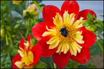Red and Yellow Dahlia with Bumblebee, Swan Island Dahlias, Canby, OR