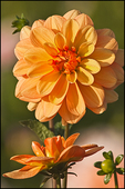 Two Gold Dahlias, Swan Island Dahlias, Canby, OR