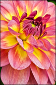 Pink and Yellow Dahlia, Swan Island Dahlias, Canby, OR