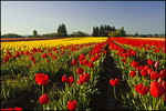 Field of Red and Yellow Tulips, Wooden Shoe Bulb Company, Woodburn, OR