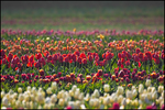 Abstract Rows of White and Red Tulips, Wooden Shoe Bulb Company, Woodburn, OR