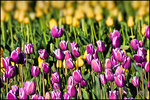 Magenta and Yellow Tulips, Wooden Shoe Bulb Company, Woodburn, OR